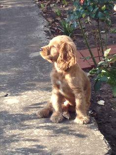 My dog - Lucky - Coker spaniel