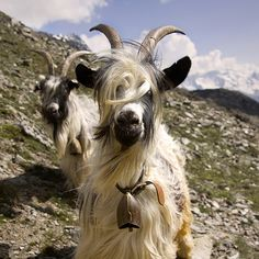 have a black and white goat, with a bell around it's neck :)