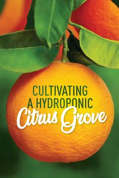 Often overlooked in hydroponic growing, many citrus varieties make for excellent indoor growing cultivars and reward horticulturists with some tasty fruits and fragrances. Organic Hydroponics, Hydroponic Farming, Hydroponic Growing, Organic Gardening, Fruit Plants, Tall Plants, Citrus Trees, Green Fruit, How To Grow Taller
