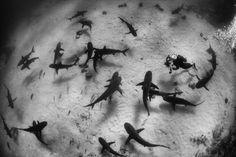 Caribbean reef sharks seen off Grand Bahama, The Bahamas