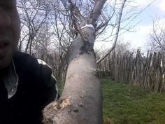 Altoirea sub scoarță pe tulpină(grafting trees)