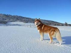Resultado de imagen para imagenes de perros siberianos