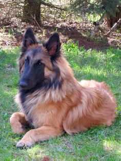 Cute Baby Puppies, Puppies And Kitties, Cute Dogs, Belgian Shepherd, German Shepherd Dogs, Border Collie, Berger Malinois, Belgian Tervuren, Puppy Stages