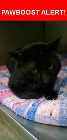 Is this your lost pet? Found in Renton, WA 98059. Please spread the word so we can find the owner!  Older black cat  Nearest Address: Near SE 150th St & 196th Pl SE