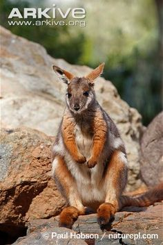 Yellow-footed rock wallaby sitting on rock  by Paul Hobson