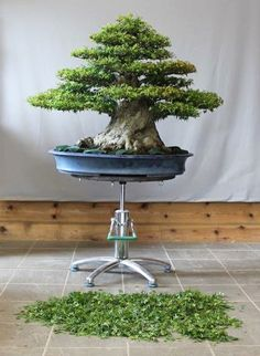 No Bonsai Are Too Big for Green T – FREE $50 Coupon with Basic Model | Bonsai Bark