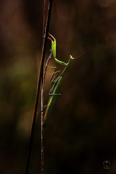 Mantis by Chewy Coco on 500px