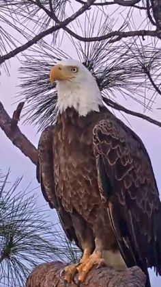 Photograph,Images,video for visual recreation Eagle Images, Eagle Pictures, Bird Pictures, Pretty Birds, Beautiful Birds, Animals Beautiful, The Eagles, Bald Eagles, Animals And Pets