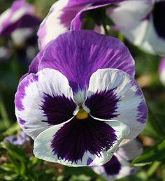 Veiner per petali di Viola Pansè in varie misure