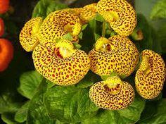 calceolaria - Google Search
