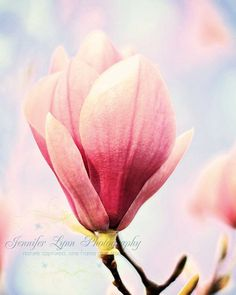 Japanese magnolia bloom pink - flower photography