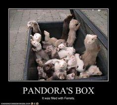 I'd open it. =) #Ferret #Ferrets #FerretDaily
