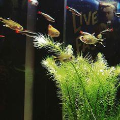White cloud danios and silver tip tetras. #aquarium #plantedtank #fishtank #petfish #fish #instagram #instagood #fishdaddy #tropicalfish #happyplace