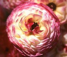 Ranunculus Merlot