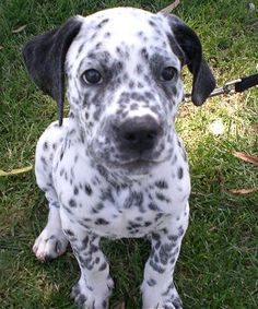 dalmatian pit! Polka dot puppy so cute❤️