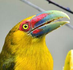 Foto araçari-banana (Pteroglossus bailloni) por Rogerio Magalhães   Wiki Aves - A Enciclopédia das Aves do Brasil Parrot, Lush, Creatures, Banana, Bird, Heart, Photography, Animals, Exotic Animals