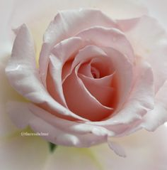 Pink Rose ~ Theresa Helmer Photography