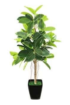 3. Ficus -  There's the tree type, known as rubber plants, and also the trailing ficus, which is called a Creeping Fig. These plants like humidity and bright light. If they look a little stressed, Debra recommends dragging them into the bathroom for a week to soak in shower humidity. Note: Toxic to cats, dogs and horses, says the ASPCA.