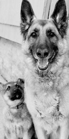 My two beautiful German Shepherd puppies.