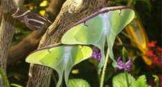 Luna moths can use their tails to reflect the echolocation pings of bats, tricking the predators into striking the tails instead of less expendable body parts.
