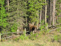 Cow moose. Yukon.