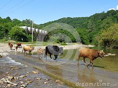 Herd of cows crossing the river