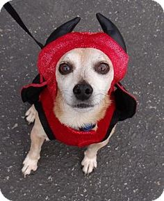 Seal Beach, CA - Chihuahua. Meet Timmi, a dog for adoption. http://www.adoptapet.com/pet/14877346-seal-beach-california-chihuahua