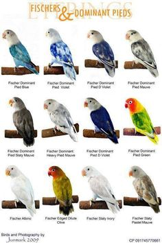 Lovebirds - a type chart