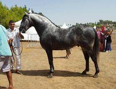 Purebred Berber horse