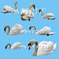 Swimming swans digital PNG files for use in photo editing software such as Photoshop or Elements. Made from photographs of real swans. Knowledge of