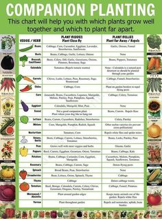 Companion Planting Chart Lots Of Great Info Video Tutorial Source by Our Reader Score[Total: 0 Average: Related photos:How to Build Raised Garden Beds - Some gardeners prefer traditional gardening, .Build a Raised Garden Vegetable Bed Companion Planting Chart, Companion Gardening, Vegetable Companion Planting, Planting Vegetables, Veggies, Planting A Garden, Planting Potatoes, Tomato Companion Plants, Container Gardening Vegetables