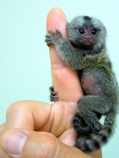 Tiniest Monkey Ever: I need one