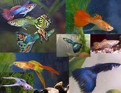 Feast Your Eyes: Fish Species n.1 - Guppy (Poecilia reticulata)