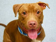 TO BE DESTROYED - SUNDAY - 8/31/14 Manhattan Center -P My name is HAYES. My Animal ID # is A1007935. I am a male red and white am pit bull ter and staffordshire mix. The shelter thinks I am about 2 YEARS old. **$150 DONATION to the NEW HOPE RESCUE that pulls. See Urgent for details!** I came in the shelter as a STRAY on 07/24/2014 from NY 10460, owner surrender reason stated was BITEPEOPLE.