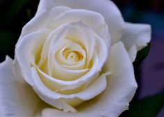 into a rose...