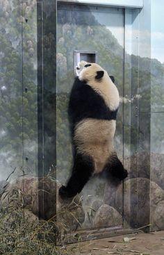 Cute Funny Animals, Cute Baby Animals, Funny Cute, Wild Animals, Panda Love, Cute Panda, Panda Panda, Baby Panda Bears, Baby Pandas
