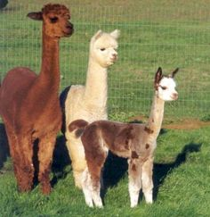 Alpacas are amazing. Ohio has the most Alpaca farms in the U. We love going to the Alpaca Gala in New Richmond, OH every year. Farm Animals, Animals And Pets, Cute Animals, Dalai Lama, Beautiful Creatures, Animals Beautiful, Llamas, National Geographic, Cute Alpaca