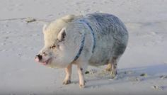 Pig FREAKS OUT When He Sees The Beach, Does A Happy Dance