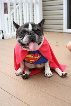 Super Frenchie! Aren't they All? Senior French Bulldog in Superman costume ; )