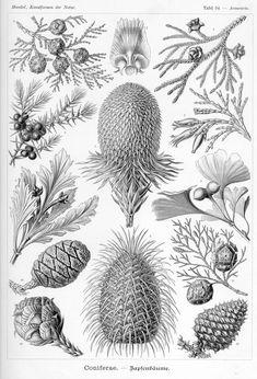 Kunstformen der Natur Tafel 94 - Araucaria