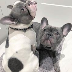 "Learn additional info on ""French bulldog puppies"". Check out our web site."