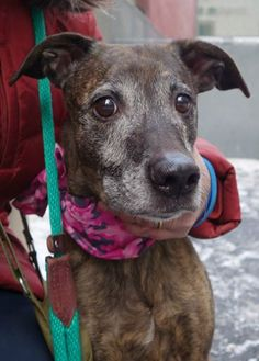 Manhattan Center STRIPES aka WONDER WOMAN - A1027124 FEMALE, BR BRINDLE / WHITE, PIT BULL MIX, 6 yrs STRAY - ONHOLDHERE, HOLD FOR EVICTION Reason OWN EVICT Intake condition UNSPECIFIE Intake Date 02/04/2015 https://www.facebook.com/photo.php?fbid=958151294197750