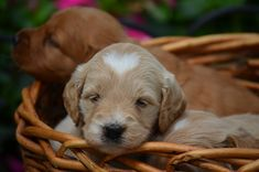 Crockett Doodles - Family Raised Doodle Puppies for Sale Dog Sleeping Positions, Sleeping Dogs, Puppies For Sale, Cute Puppies, Cute Dogs, Small Family Dogs, Poodle Cross Breeds, Miniature Dachshunds, Goldendoodle Miniature
