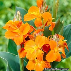 "Put on a bold show in your summer garden with the Canna Lily Orange Magic. Large, bright orange blooms contrast with green foliage, making for the perfect backdrop in any sunny garden. This Canna Lily is extremely easy to grow and can be planted in large pots or window boxes, growing to be about 32-36"" tall. Like other Cannas, deer tend to stay away from Orange Magic and flowers start in mid-summer, lasting through the fall. If you're in an area that receives frost, make sure to bring your…"