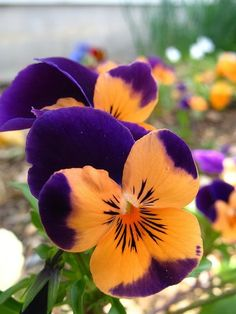 Sweet Viola's pansies orange black purple green More