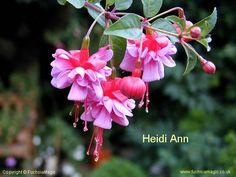 Fuchsia Heidi Ann, Bush