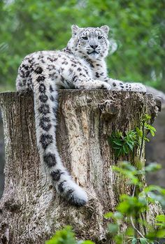Snow Leopard (by Tony_Gardner) One of my favorite animals Nature Animals, Animals And Pets, Funny Animals, Cute Animals, Wild Animals, Baby Animals, Big Cats, Cool Cats, Cats And Kittens
