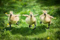 three ducklings running