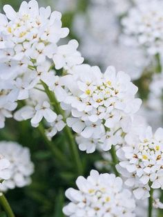 Good for a slope - Candytuft (Iberis sempervirens) Fragrant white flower clusters stand 12 inches tall on 'Snowflake' and 'Purity'. Zones 5-9.