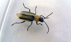 Do you have cucumber beetle problems? Find out how to destroy these major agricultural pests with our handy prevention guide!